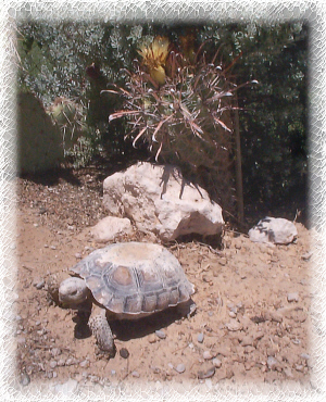 A Las Vegas Desert Tortois leaving it's burrow
